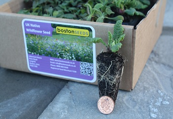 Wildflower plug plants 40cc - buy online from Boston Seeds
