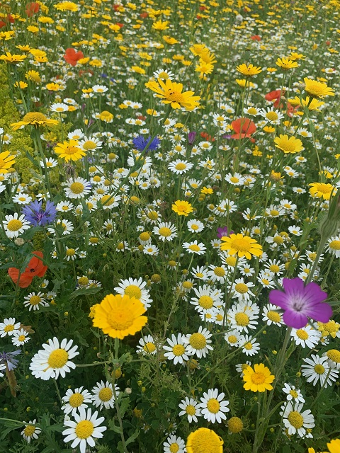 BS9P 100%: Cornfield Annuals Wildflower Seeds