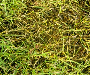 diseased grass - Common Lawn Diseases and Causes - Boston Seeds