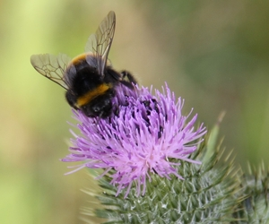 Bee on Thistle - Boston Seeds and Buglife Working Together for Conservation
