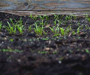 Grass Seedlings - How to Sow Grass Seed - Boston Seeds