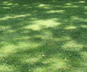 Shady Lawns and Grass Seed for Shade - Boston Seeds