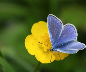Blue Butterfly on Buttercup - Wildflower Seeds, Plants or Bulbs: Which Should I Choose? - Boston Seeds