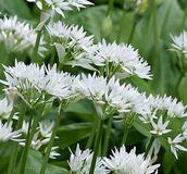 Wildflower Bulbs