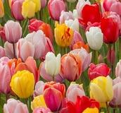 Bulk Buy Flower Bulbs