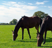 Horses Feeding - Paddock Grass Seed - Boston Seeds