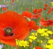 Poppy's in a wildflower meadow - Buy wildflower seeds from Boston Seeds