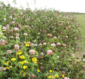 Lush Wildflowers - Countryside Stewardship - Boston Seeds
