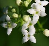 Wildflower Seeds (C-F)