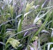 Millet and Sorghum Seed