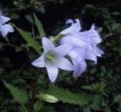 Wildflower Plants (A-B)