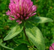 Clover Cover Crops