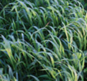 Cereals Cover Crops