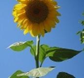 Sunflower - Order seeds online from Boston Seeds