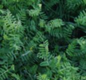 Vetch Cover Crops