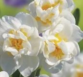 Dwarf Daffodil & Narcissi Bulbs