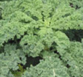 Green Kale Forage Crops - Order online from Boston Seeds