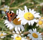 Butterfly on flower - Wildflower Plug Plants - Boston Seeds