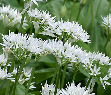 BS Wild Garlic Bulbs (Allium ursinum)