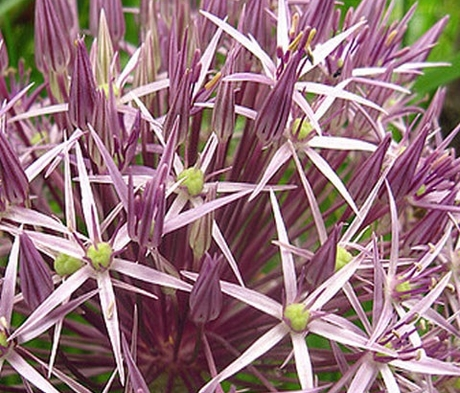 Christophii Allium Bulbs - Bulk Buy