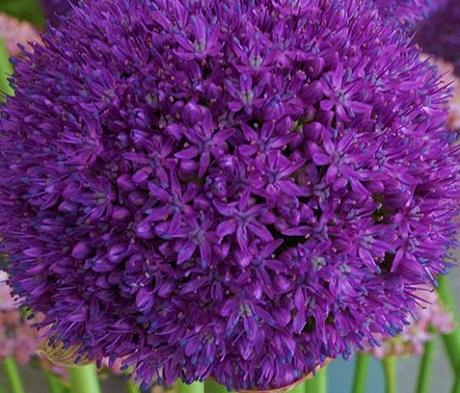 Ambassador Allium Bulbs
