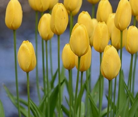 Big Smile Tulip Bulbs