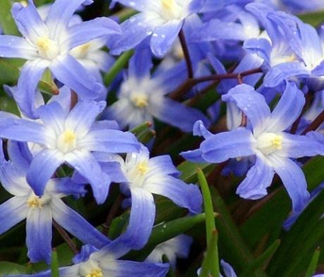 Chionodoxa Luciliae Bulbs