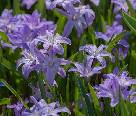 Chionodoxa Luciliae Violet Beauty Bulbs