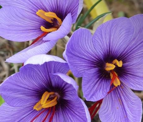 Sativus Saffron Specie Crocus Bulbs