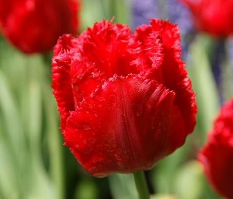 Crystal Beauty Tulip Bulbs