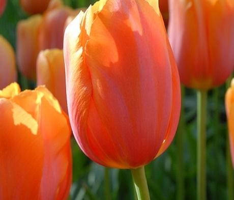 Dordogne Tulip Bulbs
