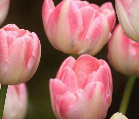 Flaming Purissima Tulip Bulbs
