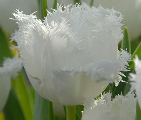 Honeymoon Tulip Bulbs