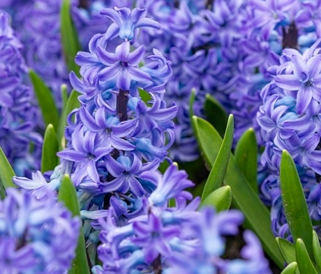Aqua Hyacinth Bulbs