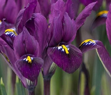Reticulata Purple Hill Iris Bulbs