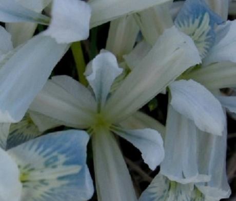 Frozen Planet Reticulata (Dwarf) Iris Bulbs