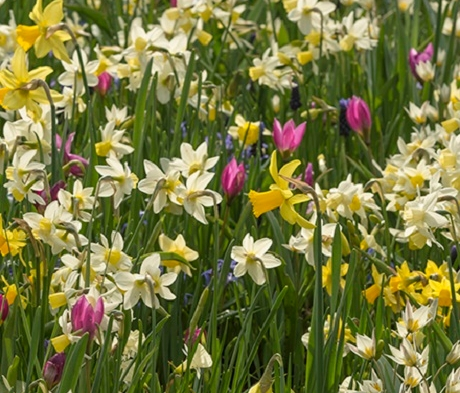 Long Flowering Bulb Collection