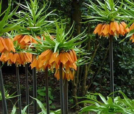 Orange Beauty Imperialis Fritillaria Bulbs