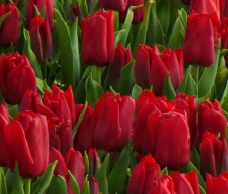 Pallada Tulip Bulbs