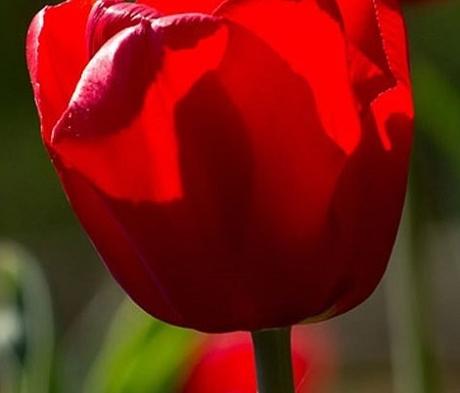 Red Impression Tulip Bulbs