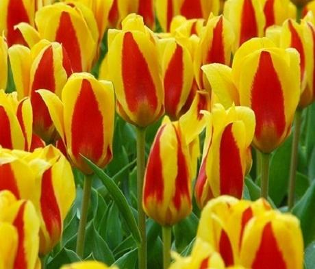 Stresa Tulip Bulbs
