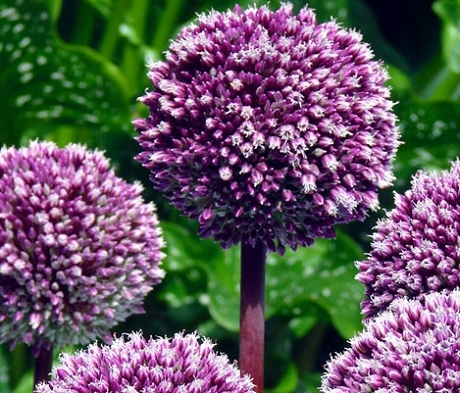 Summer Drummer Allium Bulbs