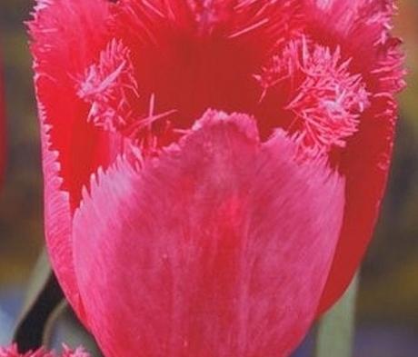 Burgundy Lace Tulip Bulbs