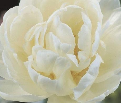 Mount Tacoma Tulip Bulbs