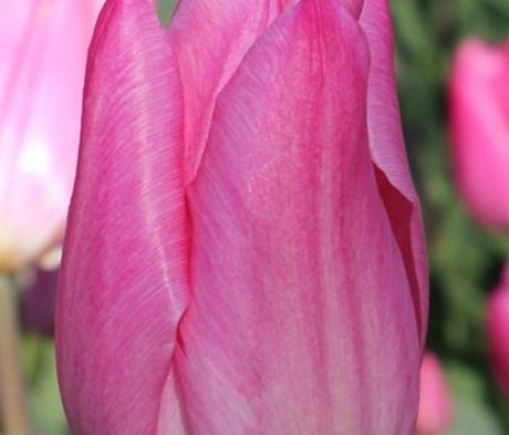 Christmas Dream Tulip Bulbs - Bulk Buy