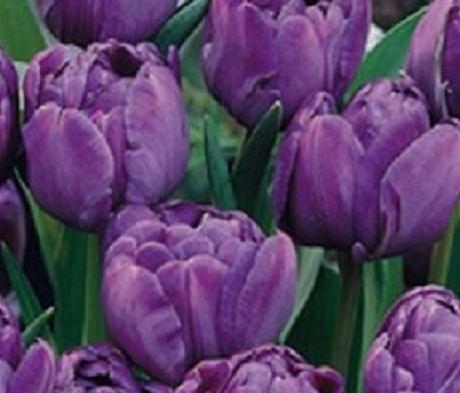 Blue Diamond Tulip Bulbs