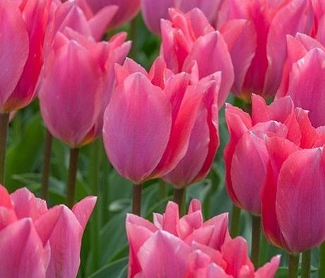 Albert Heijn Tulip Bulbs