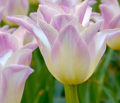 Elegant Lady Tulip Bulbs