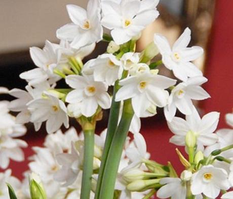 Ziva Narcissi Bulbs