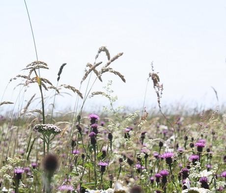 BS2P 100%: Chalk & Limestone Soils Wildflower Seeds